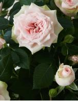 Roseira Plantada